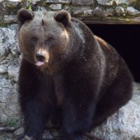 brown_bear_bear_animal_forest_grizzly_mammal_nature_forests-776132